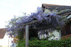 wisteria sinensis - Google Search