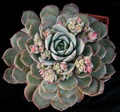 Echeveria RK - my echeveria is getting babies like these. I bought a bunch of succelents at Home Depot and they are doing so well. No, I don't work at Home Depot!