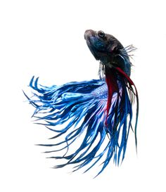 Betta's were bred and kept for competition fighting in Thailand by the people of Siam in the 1800s. The King of Siam saw how captivated people were by these fighting fish and decided he should start licensing and collecting them. In 1940, the King gave some of these award winning to Dr. Theodor Cantor who called them Macropodus Pugnax. Mr. Tate Regan realized that there was already a species called Macropodus Pugnax in 1909 and renamed the fighting fish Betta Splendens.