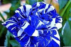 Blue White Stripe Dragon Rose (10 Seeds)