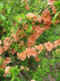 Nearly thornless and low groing to three feet. Evergreen Shrubs, Trees And Shrubs, Trees To Plant, Peach Flowers, Spring Flowers, Farm Gardens, Outdoor Gardens, Chaenomeles, Light Peach Color