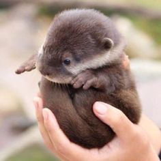 "Baby otter!! Why? Because I think they're ADORABLE, and I think you ""otter"" know! lol"