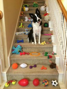 You spend tons of money on border collie toys and beds that either get destroyed or remain unused. Border Collie Puppies, Collie Dog, Labrador Retriever, West Highland Terrier, Australian Shepherds, I Love Dogs, Cute Dogs, Staffordshire Bull Terriers, Border Collie Colors
