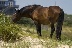 Wild Horses of the Outer Banks NC