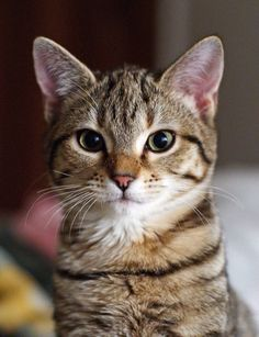 KING COLLIN'S CAT PALACE: has members. This group is for anything about cats. All cat lovers are welcome. Cute Cats And Kittens, I Love Cats, Crazy Cats, Cool Cats, Kittens Cutest, Funny Kittens, Animals And Pets, Baby Animals, Funny Animals