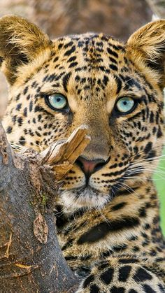 Leopards hang out in trees to ambush their pray...