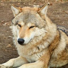 Write to Secretary Ken Salazar asking him to reverse his decision to allow mass wolf killings in Wyoming.