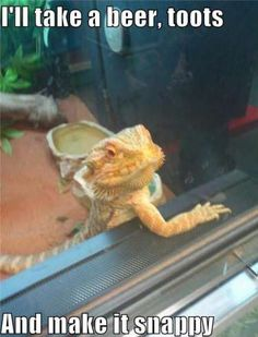 Few reptilians are as majestic as the Bearded Dragon. Their mighty dragon powers include the ability to eat insects, wear cute hats, guard treasure, and pose for internet memes. In honor of the great and mighty Bearded Dragon, we present for your consideration, 24 Bearded Dragon Memes To Make Your Day Better!