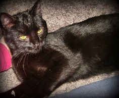 Adopted! Cat ready for adoption: Domestic Short Hair (short coat) named Annabelle in Shellsburg, IA