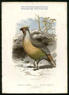 Bird: SANGUINE FRANCOLIN c1881 Chromolithograph