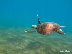 Green turtle in Guadeloupe