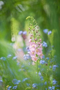 ~~Gentle Enchantment by Sarah-fiona Helme~~ Delphinium and for-get-me-not flowers ~ lovely! Wild Flowers, Beautiful Flowers, Bouquet Flowers, Meadow Flowers, Rose Flowers, Beautiful Pictures, Dame Nature, Garden Inspiration, Flower Power