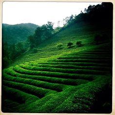 Tea plantation in #Boseong #Korea
