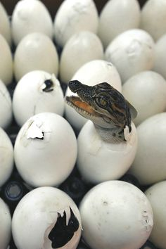 """rhubarbes: """" A crocodile hatches at the Sriracha Tiger Zoo in Bangkok. By Sukree Sukplang / Reuters More Animals here. Beautiful Creatures, Animals Beautiful, Crocodile Eggs, Crocodile Animal, Nile Crocodile, Reptiles Et Amphibiens, Baby Animals, Cute Animals, Animal Babies"""