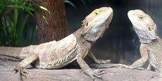 Why Bearded dragons need UV lighting