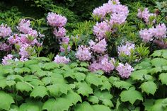 Rhododendron and Kirengeshoma