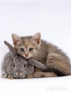 Jane Burton - Domestic Cat, Silver Tortoiseshell Kitten with Silver Dwarf Lop Eared Rabbit Super Cute Kittens, Kittens Cutest, Cats And Kittens, Cute Cats, I Love Cats, Crazy Cats, Baby Animals, Cute Animals, Kitten Photos