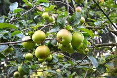 An apple a day. Urban Gardening, Apple, Berlin, Fruit, Apple Fruit, Apartment Gardening, Apples, Urban Homesteading