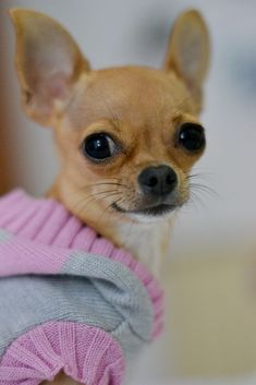 ❤️️️Reindeer Chihuahuas #Chihuahua