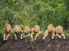 Six lion brothers photographed on the edge of the Serengeti in Tanzania, Africa (© Daniel Dolpire/Solent News & Photo Agency) Beautiful Cats, Animals Beautiful, Cute Animals, Wild Animals, Jungle Animals, Grand Chat, Gato Grande, Male Lion, Tier Fotos