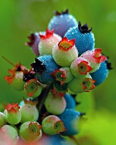Ripening Blueberries...was going to place these under healthy food, but the color won out.