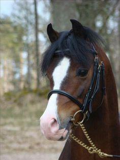 Hingstvisning i Ljungby - Hingstar - Welshponny iFokus Pony Breeds, Horse Breeds, Bay Horse, Horse Head, Horse Photos, Horse Pictures, Pretty Horses, Horse Love, Poney Welsh