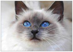 La leyenda del gato Birmano, el felino de los preciosos ojos azules