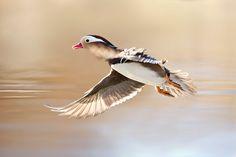 500px 上の Stefano Ronchi の写真 Mandarine duck