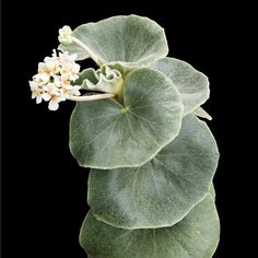 Begonia venosa – an upright Begonia from Brazil. Begonia venosa – an upright Begonia from Brazil. Unusual Plants, Rare Plants, Exotic Plants, Tropical Plants, Different Plants, Types Of Plants, Indoor Plants Online, Perennial Flowering Plants, Large Flower Pots