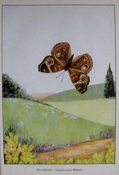 """1917 Vintage BUTTERFLIES /""""ORANGE SULPHUR/"""" BUTTERFLY COLOR ART PLATE Lithograph"""