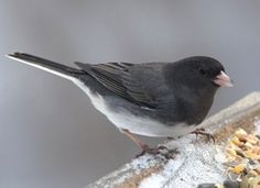 Dark-eyed Junco, Life History, All About Birds - Cornell Lab of Ornithology Junco's are in our Birch trees all winter! Small Birds, Love Birds, Beautiful Birds, Pet Birds, List Of Birds, Bird House Kits, How To Attract Birds, Backyard Birds, Garden Birds