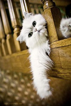 White Persian Hanging About! | Cute Kitten, Lounging Time | White Persian | Cat Smirk