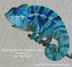 Panther Chameleon -- blue bar ambanja from the Kammers. I don't know if they still produce chams or not, but there's were lovely.