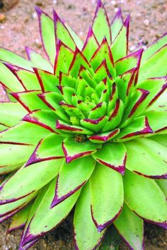 Echeveria agavoides is a species of flowering plant in the Crassulaceae family, native to rocky areas of Mexico, notably the states of San Luis Potosí, Hidalgo, Guanajuato and Durango.
