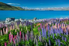 Reconnect with nature. Photo of wild flowers overlooking Lake Tekapo by Guy Havell - New Zealand