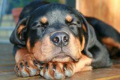 .sweet baby Rottweiler