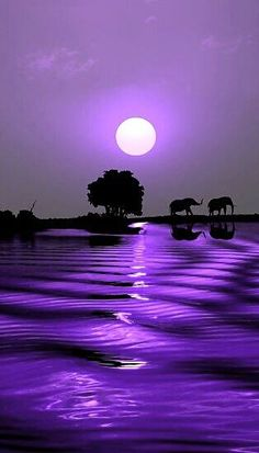 Elephants effected in purple cast water