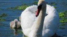 Blogi Swan, Bird, Animals, Swans, Animales, Animaux, Birds, Animal, Animais