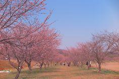 北浅羽桜堤公園の安行寒桜 2度目 | Lagreinのブログ