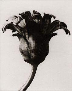 Photo: Karl Blossfeldt (1865 - 1932).