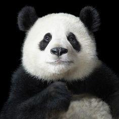 Panda by Tim Flach #animal #photography #panda
