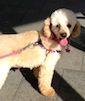 Sunshine Toy Poodle   Pawshake North narrabeen