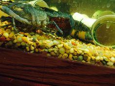 Redclaw Crayfish aka Freshwater Lobsters Freshwater Lobster, Lobsters, Aquaponics, Farming, Fresh Water, Vegetables, Food, Veggies, Vegetable Recipes