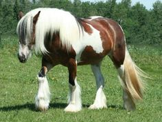 gypsy vanner horses | Gypsy Horse, Gypsy Vanner Horses, Irish Cobs, Now Available in Canada ...