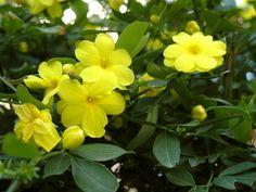 Жасмин растение чай лечебный