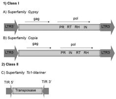 Structure of the major transposable elements found in the genome of fungi. In 1, the class I: LTR-Gypsy (A) and LTR-Copia (B) with their respective coding regions. The pol region contains the PR (protease), RT (reverse transcriptase), RH (RNase H) and IN (integrase) domains. The LTRs (Long Terminal Repeats) are indicated by wide arrows. Gypsy and Copia differ in the order of the regions that encode the reverse transcriptase and the integrase within the pol region. In 2, the class II is…