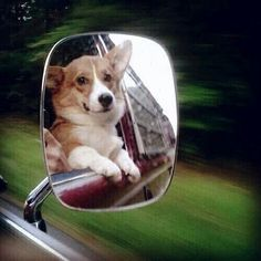 Corgis in the mirror are closer than they appear...