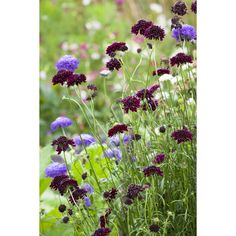 Annuals One of the longest-flowering and glamorous hardy annual cut flowers. This pack contains pinks, mauves, whites and crimsons. Scabious grows well on any soil and if I keep picking it, flowers from June until Christmas at Perch Hill.