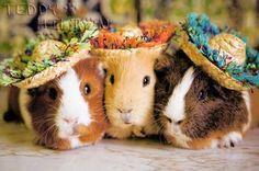 Guinea pigs in spring hats - Carmen Miranda would like a carrot, please!