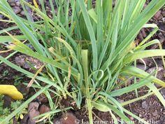Poireau des vignes (Allium ampeloprasum) - Un légume perpétuel